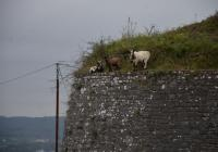 By sheep, goat and deers